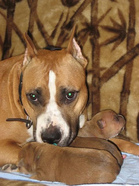 стаффорд фото щенок